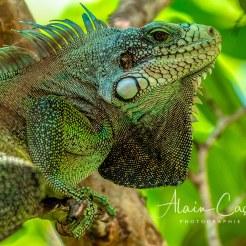 Photo Alain Cassang - Guadeloupe - Animaux 2
