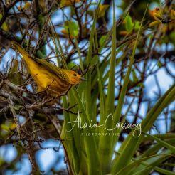 photo alain cassang - guadeloupe - faune & flore 9